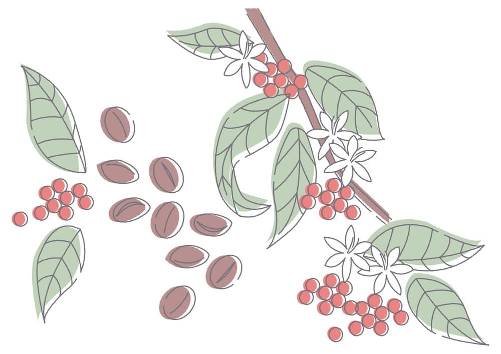 手書きイラスト無料|コーヒー豆 花 植物