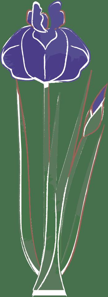 手書きイラスト無料|こどもの日 菖蒲3